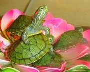 Домашняя маленькая красноухая черепаха с доставкой и кормом