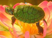 Домашние любимцы - красноухие черепахи.