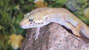 Леопардовый геккон-эублефар,  ручные,  яркие рептилии для дома,  Киев htt